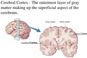 CerebralCortex1 - Copy