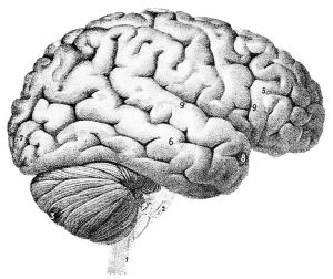 HumanBrain1