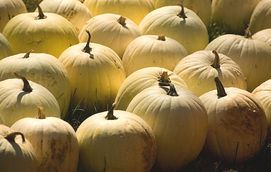 pumpkins in late afternoon - albinos