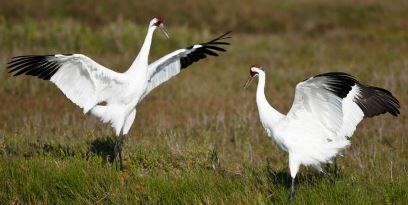 Texas Whooping Cranes in winter