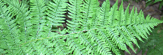 ferns lady