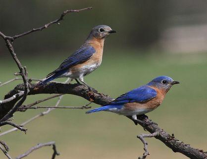 Eastern Bluebirds, Wikipedia