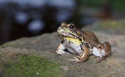 Young male America Bullfrog ~ Williamsplex via Wikipedia