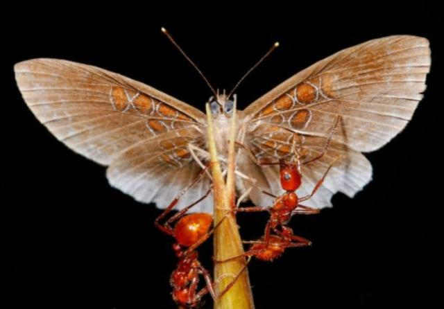 butterfly-ants-1.adapt.1190.1