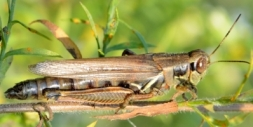 grasshopper female