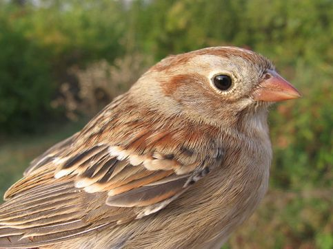 Head of Field Sparrow Spizella pusilla, Lexington, Kentucky, by PookieFugglestein, via Wikipedia