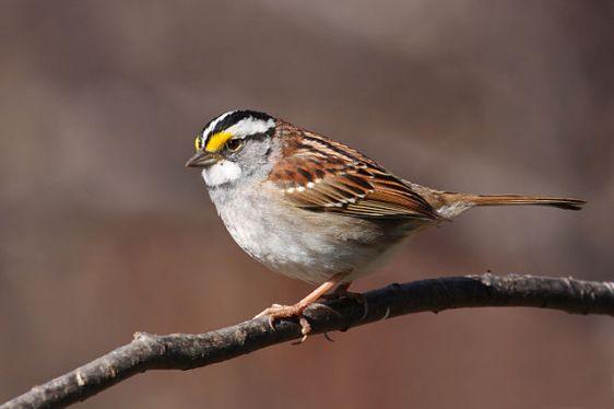 White-throated Sparrow (Zonotrichia albicollis), bu Cephas, via Wikipedia