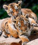 amur-tiger cubs