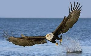 bald-eagle - raging life photos
