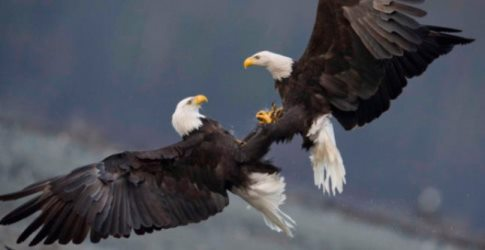 Bald eagles fighting in air