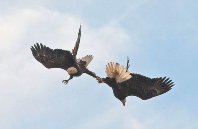 Bald Eagles mating ritual