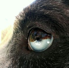 Catahoula cracked eye