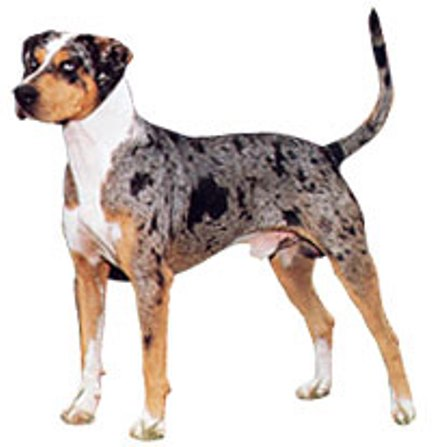 Catahoula Leopard Dog 1