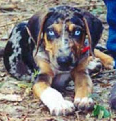 Catahoula Leopard Dog 2