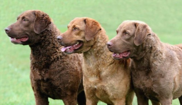 Chesapeake Bay Retrievers - 1