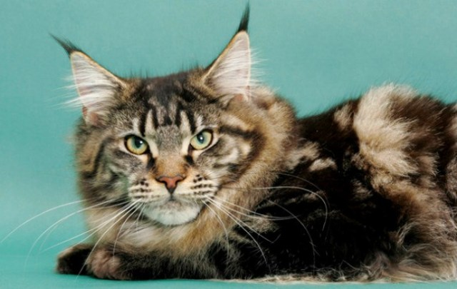 Main Coon Tabby with ear tufts