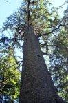 Sitka-spruce