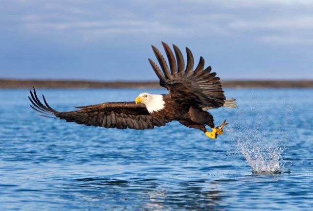 American-bald-eagle-fishing FfS