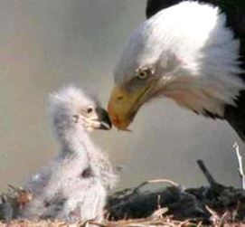 Bald Eagle mom and baby