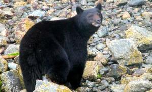 BLACK BEAR clayoquot-sound Trip Advisor