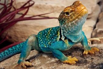 collared-lizard blue