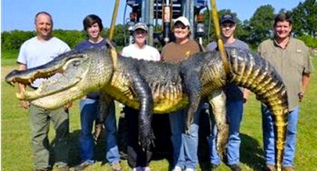 727 pound aligator