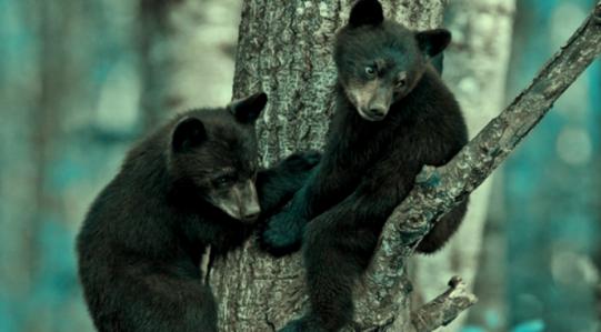 baby-black-bears