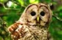 Barred Owl crop2
