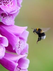 bee-and-foxglove