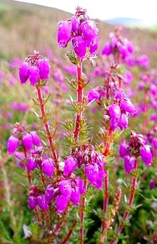 bell_heather
