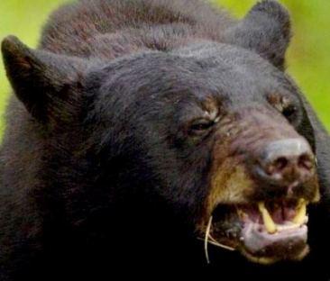 black-bear-agressive-male