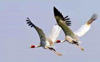 cranes-in-flight