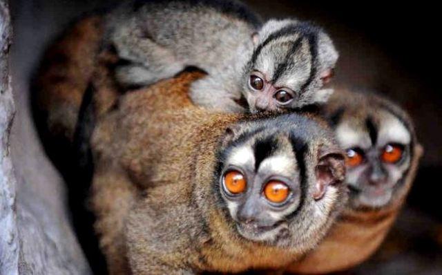 owl-monkey-family