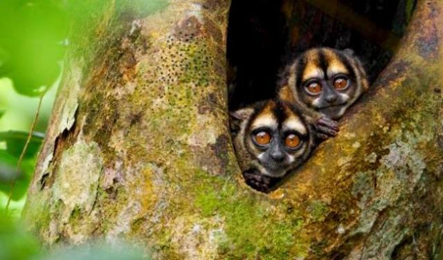 owl-monkeys-yasuni-natpk-ecuador-by-tim-laman