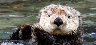 Sea Otter crop