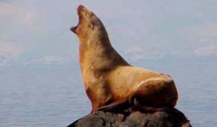 steller-sea-lion-noaa