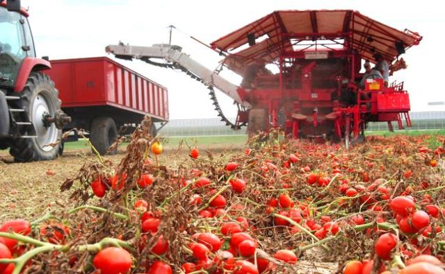 tomato-harvest