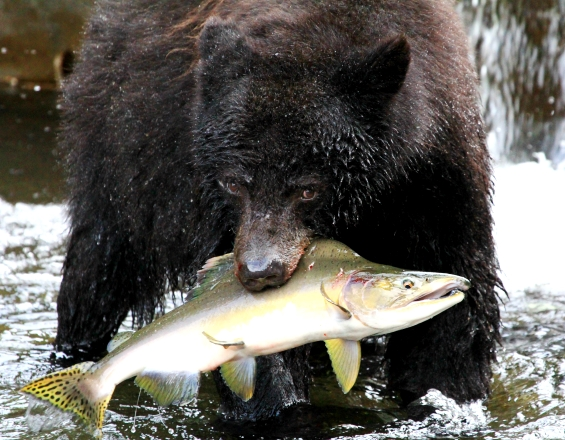 linda-stacey-campbell-river-vancouver-island-bc-black-bear-catching-pink-salmon