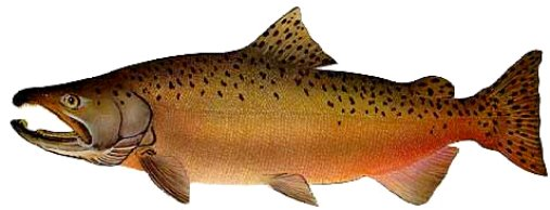 male-chinook-salmon-spawning-colors