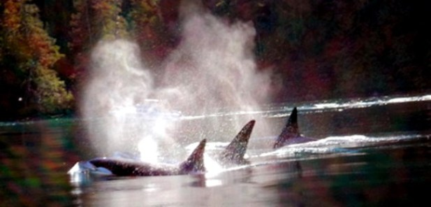 orca_whales