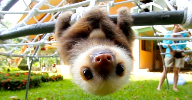sloth-hanging-around