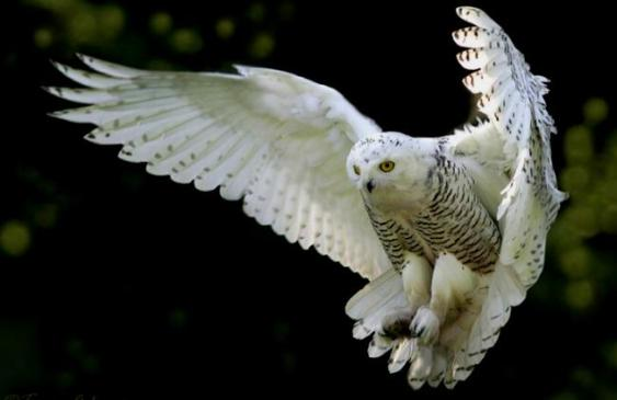 snowy-owl-picture-from-sodahead