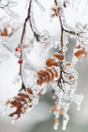 mountain-ash-after-ice-storn