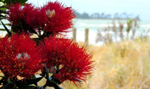 pohutukawa-nz-christmas-tree-lrbarrett-tahunanui-beach-nelson