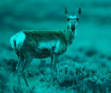 pronghorn-antelope-female