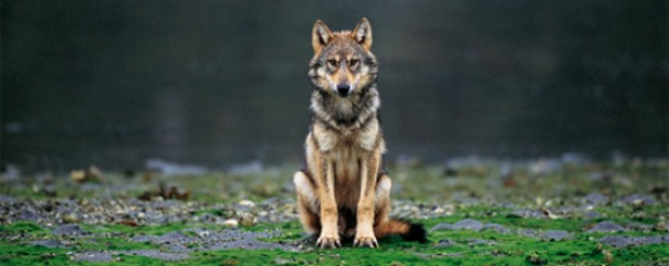vancouver-island-wolf-canis-lupus-crassodon-by-ian-mcallister