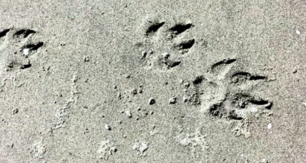 wolf-tracks-vancouver-island