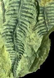 fern-fossil