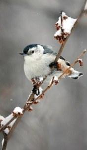 nuthatch-on-snowy-branch