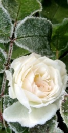 rose_bud_white_hoarfrost_snow_frost_winter